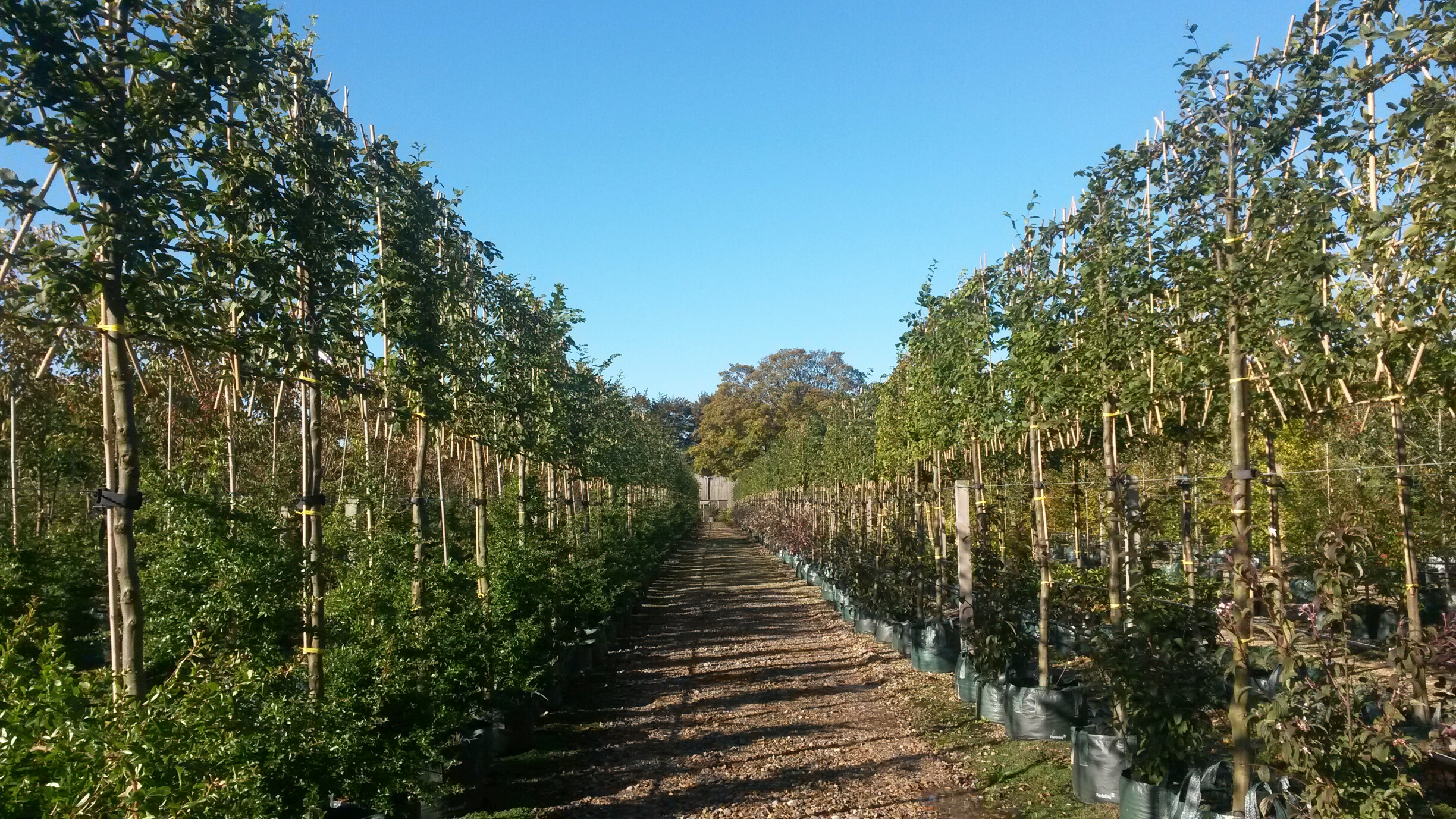 Newly Pleached Hornbeam from Wykeham Mature Plants