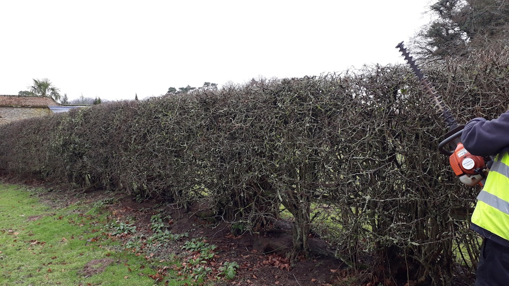 Pruning Hawthorn hedges in February