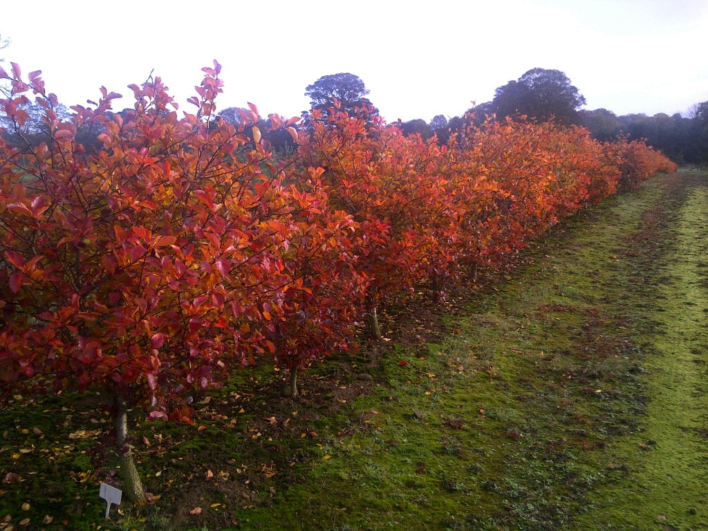 Crataegus prunifolia hedging Autumn Foliage