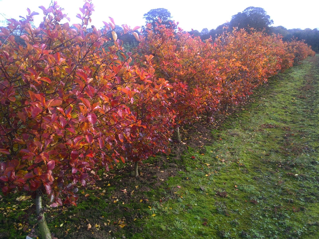 Crataegus prunifolia makes an impressive hedge for security and its autumn foliage is second to none