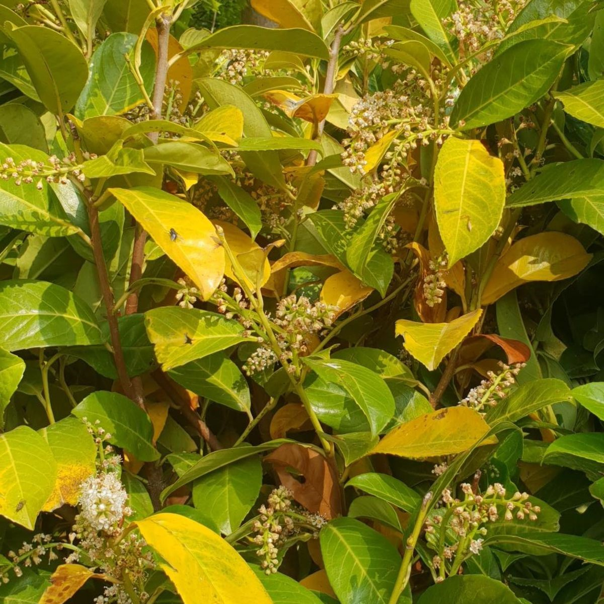 Laurel going yellow due to lack of water