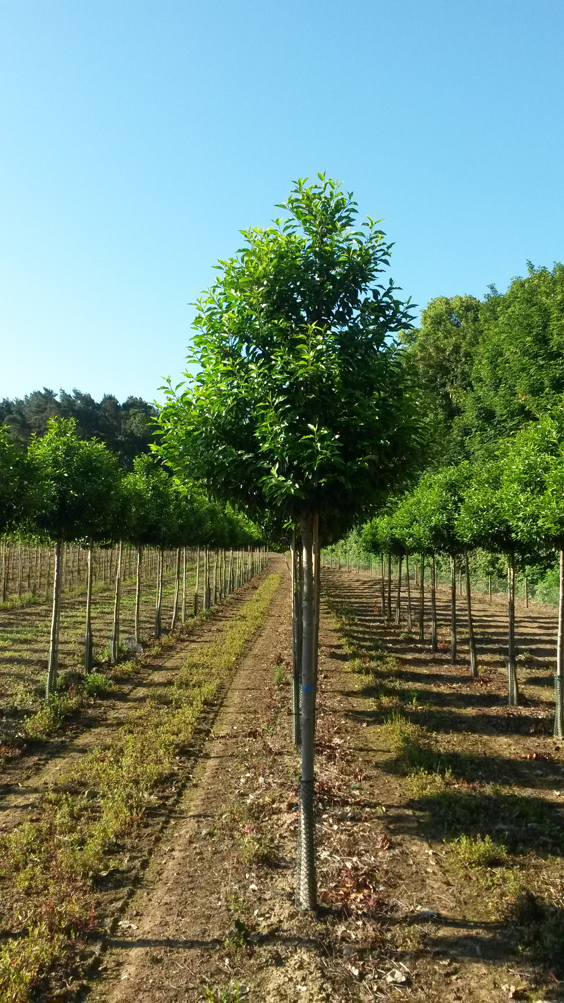 Portugese laurel trees for evergreen screening