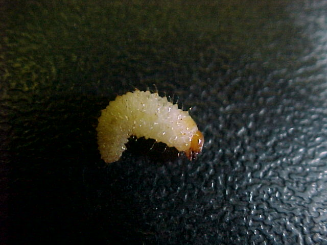 picture of vine weevil larva