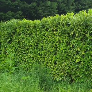 How to look after laurel hedging