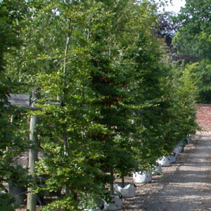 Beech trees to buy