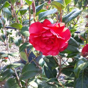 Camellia Les Jury red flower