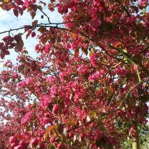 Malus Rudolph Crab Apple