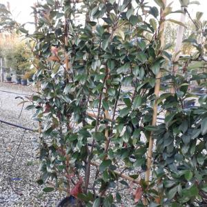 Photinia Red Robin trained frame