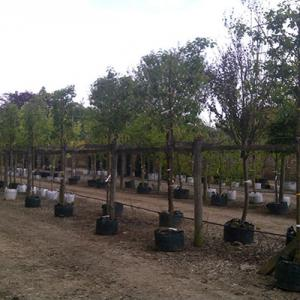 Pyrus calleryana Chanticlear Pleached