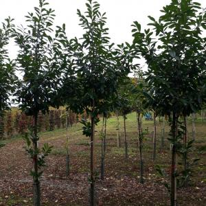 Prunus laurocerasus Novita standards in field