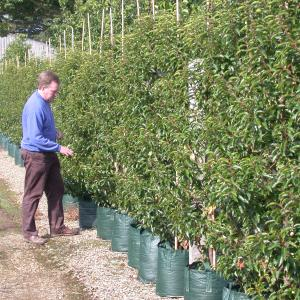 Prunus lusitanica Portuguese Laurel big hedge plants