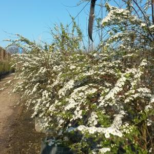 Spirea arguta Bridal Wreath shrubs