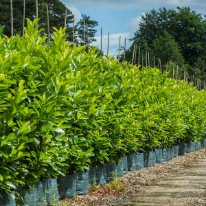 picture_of_laurel_hedge