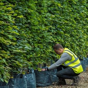 picture_of_container_grown_hedging_plants