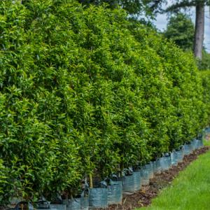 picture_of_portuguese_laurel_hedge