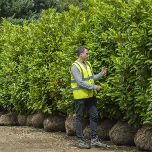 large laurel hedge blocks