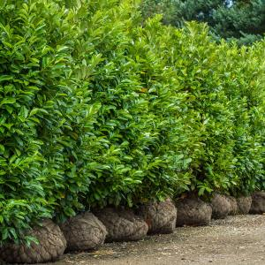 Mature hedge by mail