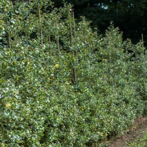 picture_of_silver_holly_hedge