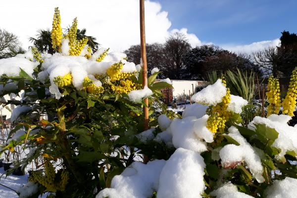 Mahonia Winer Sun in the snow