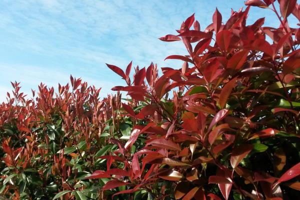 Photinia Red Robin shrubs for sale