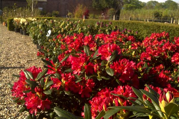 Rhododendrons to buy from Wykeham Mature Plants