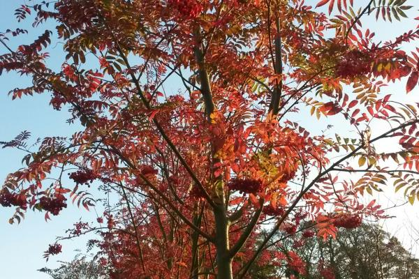 Sorbus discolor tree autumn foliage
