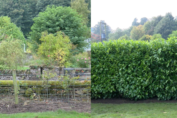 picture_of_before_and_after_laurel_blocks_planted