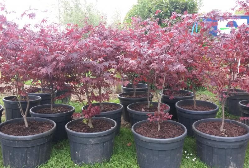 Acer palmatum Bloodgood for sale