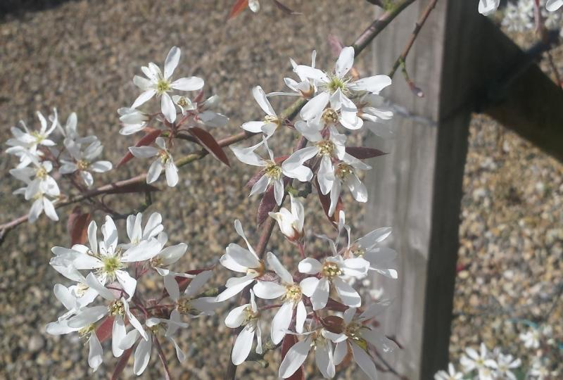 Amelanchier blossom is one of the highlights of spring