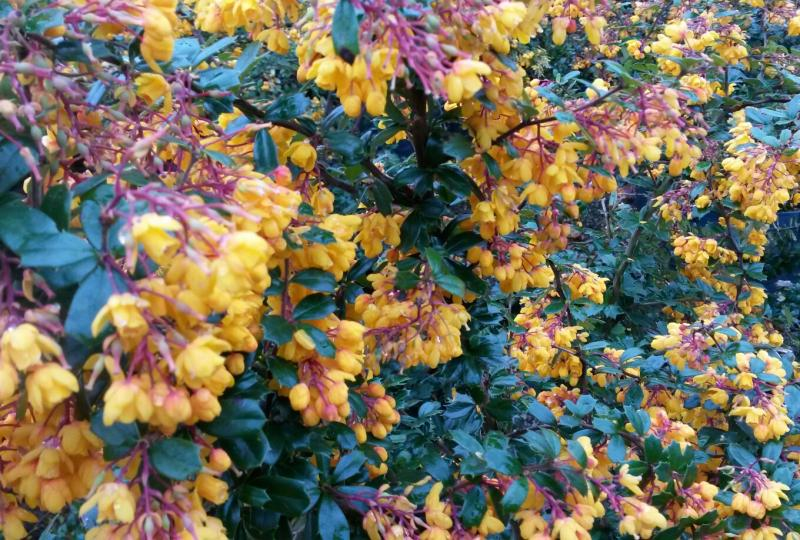 Berberis darwinii Barberry flowering shrub