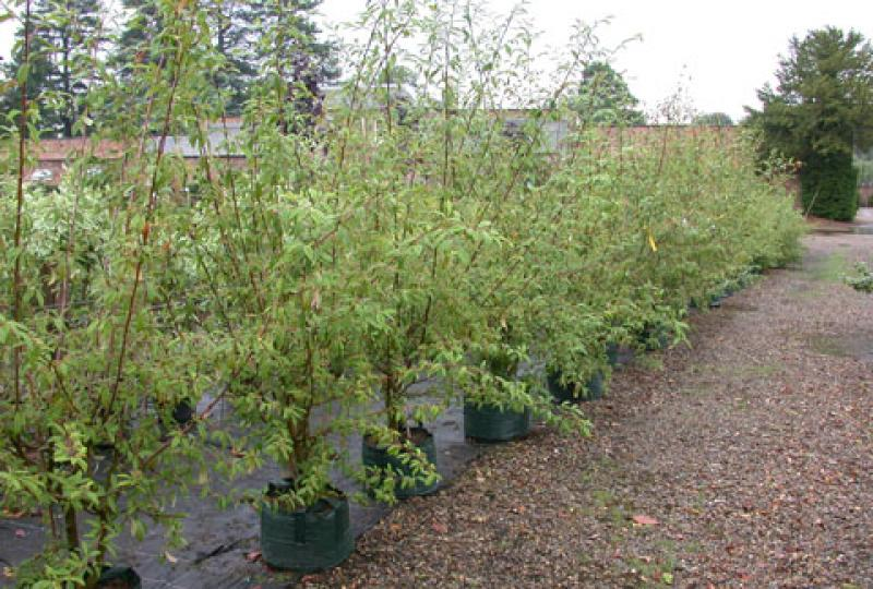 Cotoneaster_cornubia_for_sale