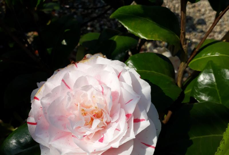Camellia Contessa Lavinia Maggi striped flower