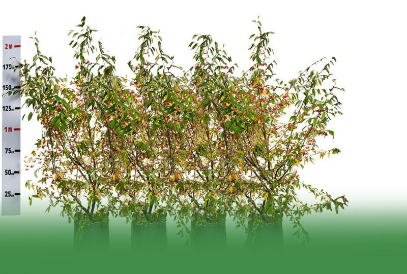picture_of_cotoneaster_cornubia_shrub