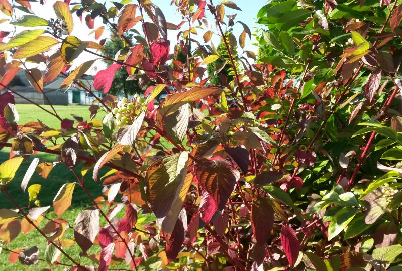 Cornus alba Sibirica Dogwood leaves