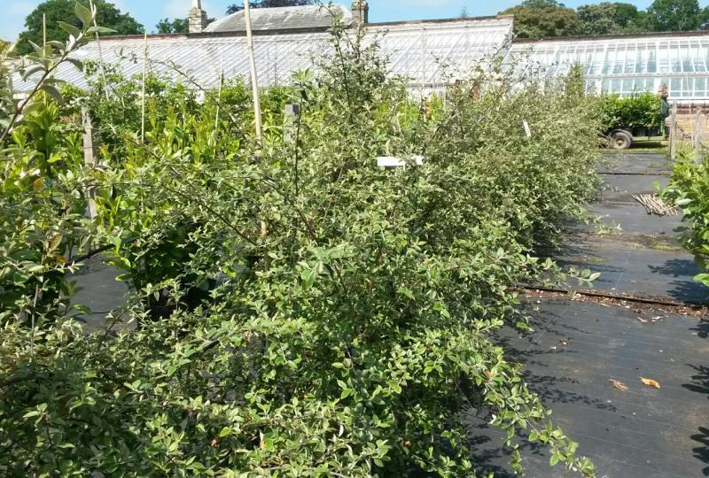 Cotoneaster franchettii shrubs for sale