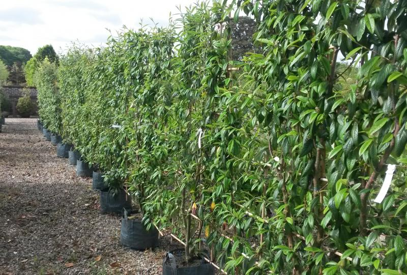 Cotoneaster frigidus Cornubia frames for screening