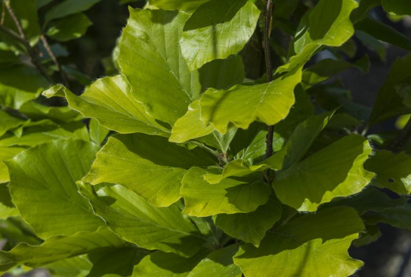 Green Beech foliage