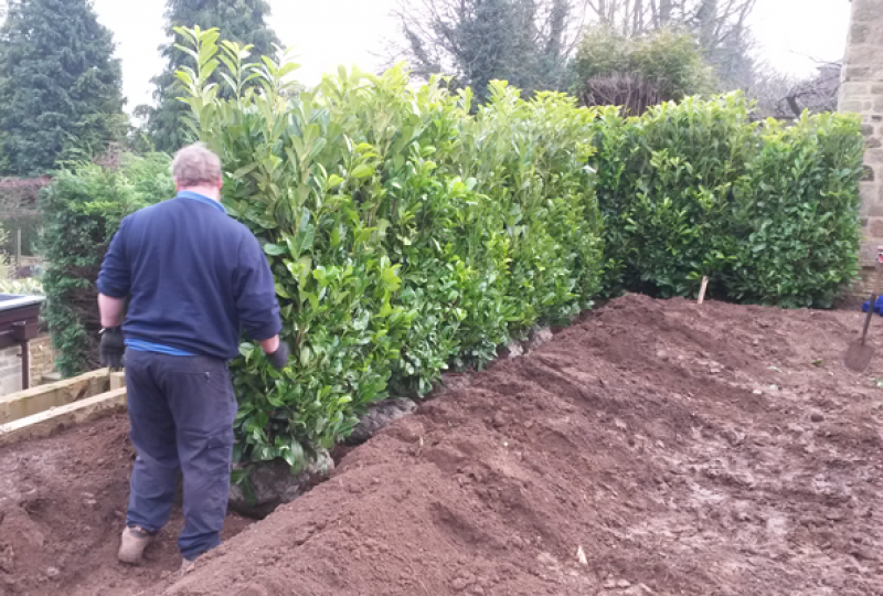 Laurel Hedge Block 5ft-6ft planting