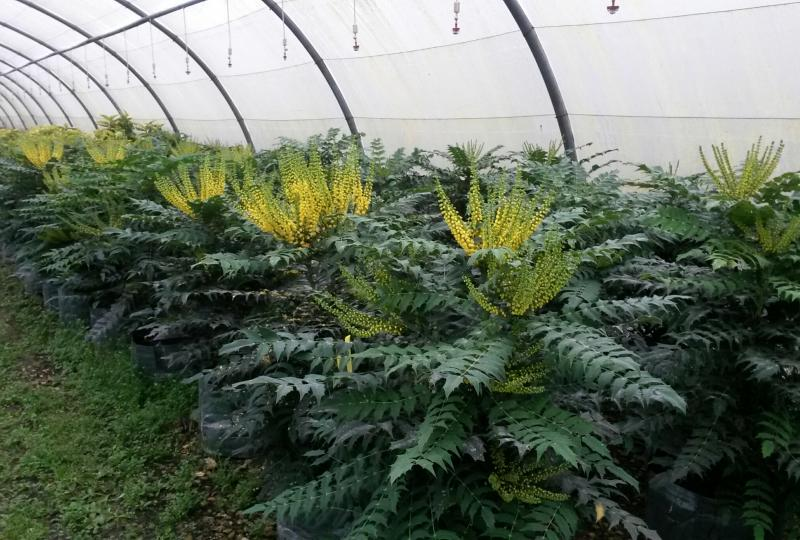 Mahonia media Winter Sun