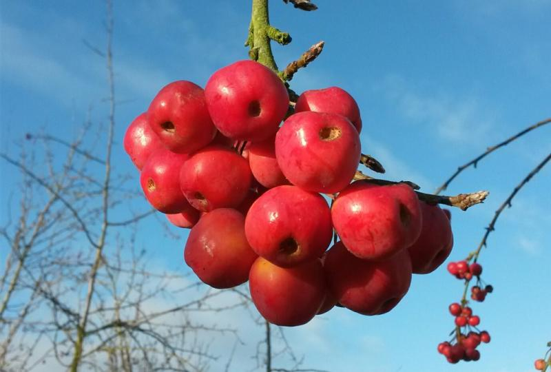 Malus Red Sentinel fruit