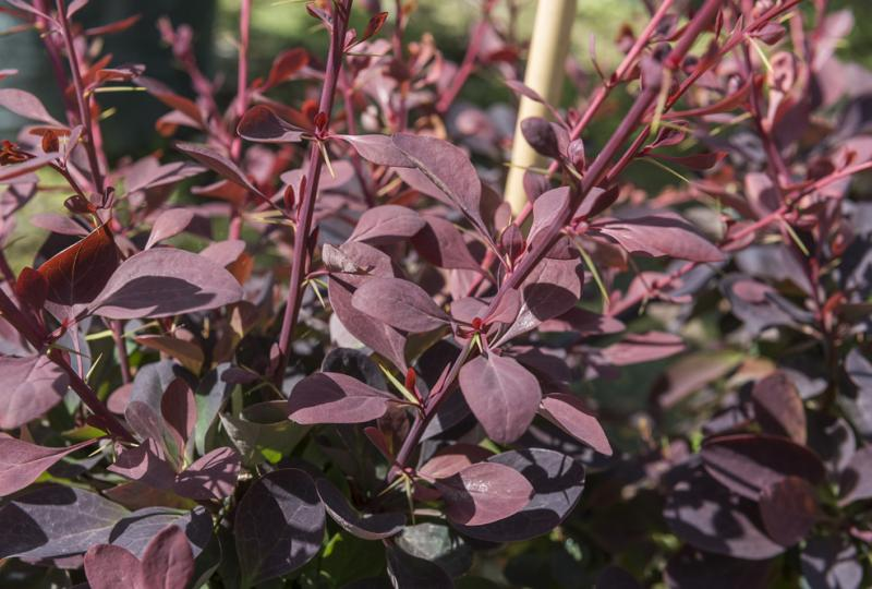 Barberry Superba