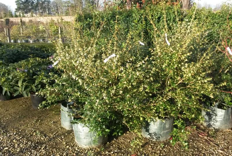 Osmanthus burkwoodii shrubs for sale