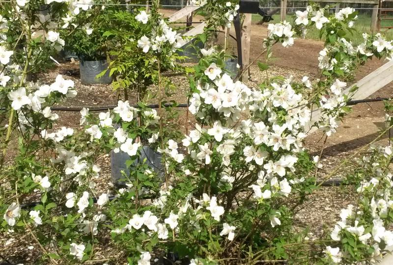 Philadelphus Belle Etoile Mock Orange bush