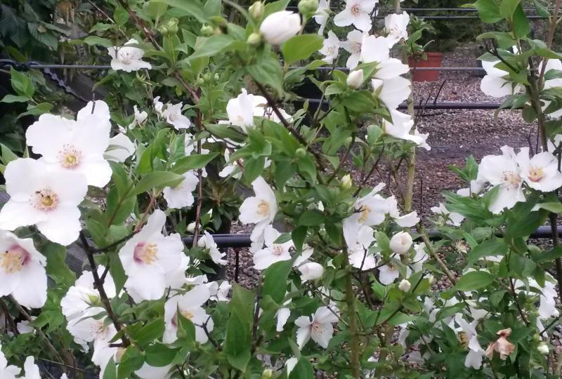 Philadelphus Belle Etoile Mock Orange Shrub