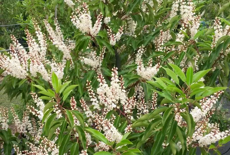 Prunus lusitanica Portuguese Laurel flowering evergreen hedge plant