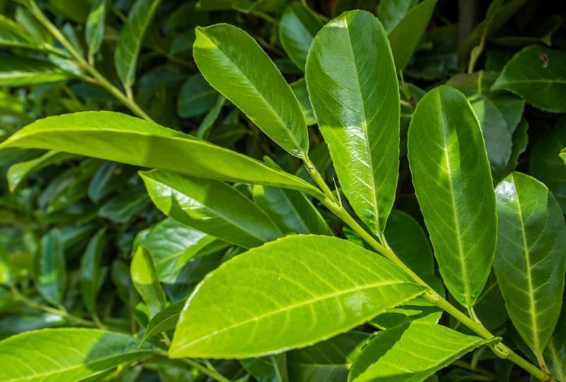 picture_of_laurel_leaves