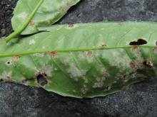 picture_of_laurel_leaf_with_mildew