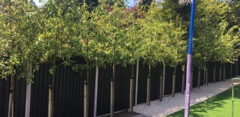 Cotoneaster cornubia trees for privacy